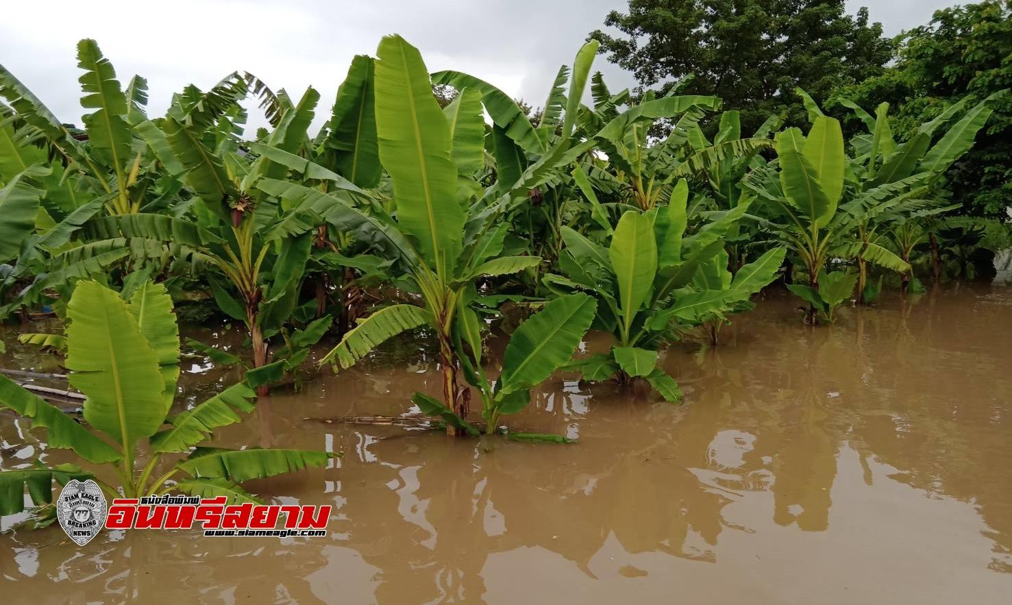 นครสวรรค์-น้ำเจ้าพระยาเริ่มเอ่อท่วมสวนกล้วยไข่ สร้างความเสียหายการส่งออก